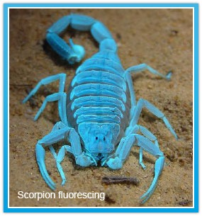 Scorpion flourescing