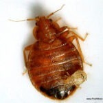 Adult bed bug with nymph