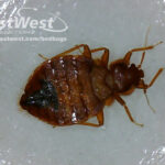 Adult bed bug male