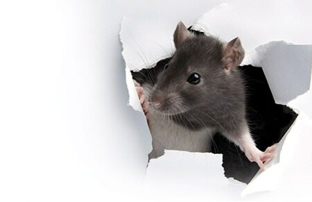 https://www.pestwest.com/us/wp-content/uploads/sites/4/2014/11/Between-a-Rat-and-a-Rodent-Place.jpg