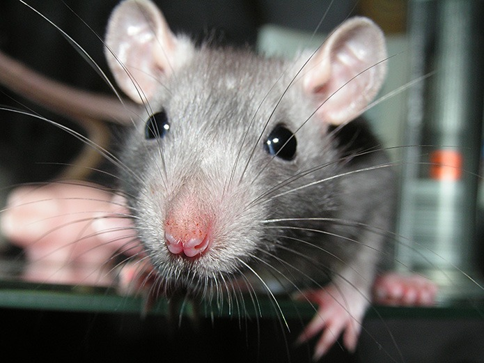 Rodents: Insensitive Pests Use Incredible Senses